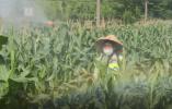 """""""幺蛾子""""来势汹汹 农业部门紧急防治"""
