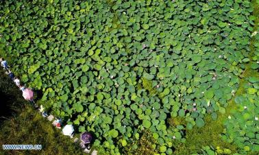 Lotus flowers in Qinling Mountains, NW China's Shaanxi