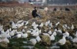 候鸟将迁徙 市民扎堆观赏红嘴鸥