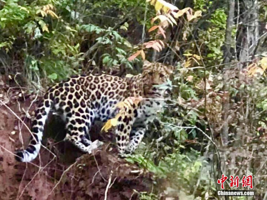 陕西黄陵国家森林公园现金钱豹