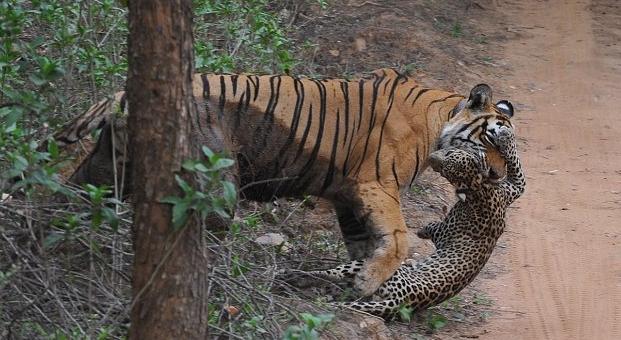 母老虎在丛林中捕食豹子的惊险场面