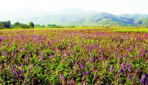 地道药材裕丹参获国家原产地保护