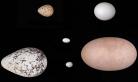 新发现!鸟类飞行能力影响鸟蛋形状