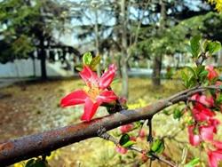 贵州木瓜红
