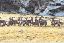 瓦利亚野生山羊
