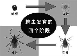 蜱虫生活史各阶段